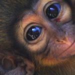 Nace en Valencia el primate más pequeño de África